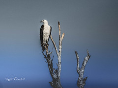 Sea Eagle Kakadu (suziehancock) Tags: darwin seaeagle whitebellied whitebreasted kakadunationalpark kakadu northernterritory australia bird birds feather olympus