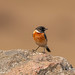 Siberian Stonechat (Male identified by its reddish brown plumage)