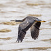 Heron, flight