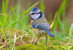 Cyanistes caeruleus (rubacolor) Tags: cyanistes caeruleus cinciarella uccelli bird natura ornitologia nikon d850 sigma180mm2 8