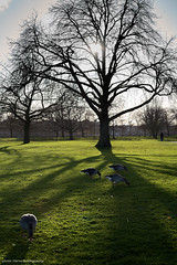 Game Geese in Hyde Park (hervedulongcourty) Tags: contrejourshot city cityscape citylife unitedkingdom backlight contrejour parc citypark animals animaux vegetation citygarden londres m10p leicam10p uk trunk hydepark manualfocus goose summiluxm50mmf14asph oies europe london leicam tronc green leica tree travel park summilux arbre photo vert trees tourism photography vegetal ngc