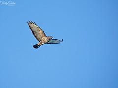 🇬🇧 Buzzard SVP 4800 (vickyoutenphoto) Tags: vickyouten buzzard wildlife nature nikon nikond7200 nikkor55300mm sankeyvalleypark warrington uk