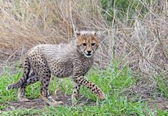 Cheetah cub in Kruger National Park (Mikhail & Yana) Tags: cheetah acinonyxjubatus гепард cheetahcub nature wildlife animal africa mammal krugernationalpark