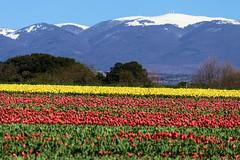 P1000731 (alainazer) Tags: lurs provence france fiori fleurs flowers fields champs ciel cielo sky colori colors couleurs tulipani tulipes tulips