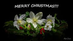 Christmas bouquet (Magda Banach) Tags: christmasbouquet hellebore nikond850 blackbackground bouquet bud colors flora flower green macro nature plants reflection winterflowers