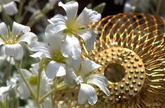 Best with Holidays is...Treasure Hunting...Macro Mondays ! (Lani Elliott) Tags: garden homegarden flowers snowinsummer whiteflowers lanisgarden macro macrophotography upclose closeup bokeh bauble festivemacro macrounlimited bestwithholidaysis macromondays
