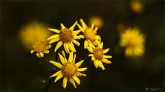 Dezember Blümchen/ December flowers (Apertur1) Tags: blume bokeh excirede fotografie inhalt natur pflanze