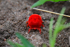 Velvet mite (supersky77) Tags: uganda africa lakealbert rift valley