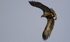 All I want for Christmas is you! (Ann and Chris) Tags: whitetailedeagle eagle flying flyby awesome magnificent wings close low impressive majestic massive large norge norway stunning wild