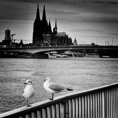 PAS-DE-DEUX (B. Hanner-Schmitz / W. Schmitz) Tags: bnw monochrome schwarzweis noiretblanc köln cologne kölnerdom cathedrale seagulls möwen rhein rhine