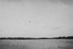 ***** (Kroni Toropov) Tags: nature landscape sky bird film filmphoto 35mm analog analogue monochrome summer russia природа плёнка пейзаж птица небо смена8м тасма чб
