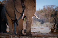 Surviving  the drought (leendert3) Tags: leonmolenaar southafrica krugernationalpark wildlife wilderness wildanimal nature naturereserve naturalhabitat mammal africanelephant ngc npc