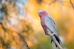 粉紅鳳頭鸚鵡 Galah (chungmuwei) Tags: bird australia alicesprings wildlife nature pink nikon d500 300mm fantasticnature ngc