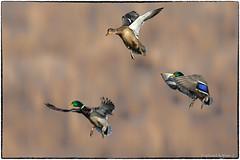 Mallards (RKop) Tags: fernaldpreserve raphaelkopanphotography d500 600mmf4evr nikon nature