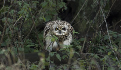 You've got the look! (Ann and Chris) Tags: adorable owl shortearedowl shorteared staring eyes big yellow close impressive looking stunning unusual vivid