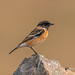 A Male Siberian Stonechat