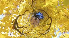 FOLIAGE (ajpscs) Tags: ©ajpscs ajpscs 2019 japan nippon 日本 東京 tokyo tokyostreetphotography streetphotography insta360onex 360度カメラ 360°camera 360streetphotography lifein360 tokyo360 tinyplanet shinjuku 新宿 shinjukugyoennationalgarden 新宿御苑 autumn leaves aki 秋 momiji mapleleaves 紅葉 foliage autumnsky