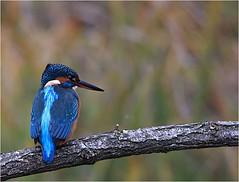 Martin-pêcheur (boblecram) Tags: alcedinidae martinpêcheur alcedo oiseau atthis kingfisher