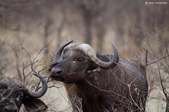 Wild African Buffalo (leendert3) Tags: leonmolenaar southafrica krugernationalpark wildlife wilderness wildanimal nature naturereserve naturalhabitat mammal capebuffalo naturethroughthelens