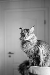 Tessa (unbunt.me) Tags: film meinfilmlab analog wwwmeinfilmlabde ilfordhp5 cat blackwhite bw 6x9 gw690ii blackandwhite fuji katze fujica ilford fujifilm