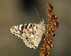 Painted Lady Vanessa cardui (Iain Leach) Tags: birdphotography wildlifephotography photograph image wildlife nature iainhleach wwwiainleachphotographycom canon canoncameras photography canon1dx canon5dmk3 beauty beautiful beautyinnature macro macrophotography closeup butterfly moth lepidoptera insect invertebrate outdoors conservation paintedlady vanessacardui