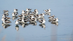 American Avocets (Winter) (Bob Gunderson) Tags: americanavocet birds recurvirostraamericana shorebirds avocets