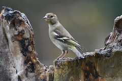 pinson des arbres / Fringilla coelebs 19E_9511o (Bernard Fabbro) Tags: pinson des arbres oiseau bird fringilla coelebs common chaffinch