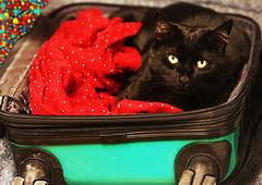 Meowy Monday Catmas (kirstiecat) Tags: blackcat cat gato gatonegro chatnoir chatte gatti katze feline kitty suitcase travel bokeh color colour canon catmas christmas luggage meowymonday meowycatmas merrychristmas happyholidays