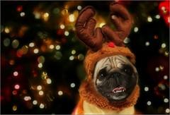 Merry Christmas, ya filthy animal! | Christmas is going to the dogs... (marialourenzo) Tags: portrait dog doggo christmas bokeh christmaslights retrato perro can cane nadal navidad chien hund pug