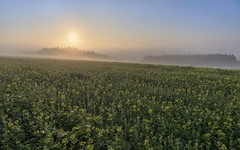 *In the morning over the heights of the Moselle-Eifel* (Albert Wirtz @ Landscape and Nature Photography) Tags: summer sommer acker feld field rural countryside hupperath bernkastelwittlich landscape nature natur fineart sunrise sonnenaufgang nebel nebbia mist brume bruma brouillard laniebla raps senf yellow naturaleza natura paesaggio paysage paisaje campo campgna campagne landscapefineart fineartphotography wittlichland rheinlandpfalz rhinelandpalatinate germany deutschland allemagne moseleifel eifel südeifel nikon d810