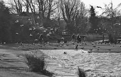 Feeding the birds on a blustery day (Steven Tyrer) Tags: fun wind windy cosmeston lakes mono bw blackandwight water choppy birds flying winter wales sonya6000