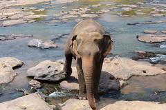 Sri Lanka, D810_1209(1) (tango-) Tags: pinnawela srilanka ceylon asia orphanage elephants