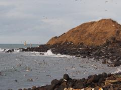 a flock of seagulls (murozo) Tags: seagull bird sea grass rock cloud wave nikaho akita japan カモメ 鳥 海 草 岩 石 波 にかほ 秋田 日本