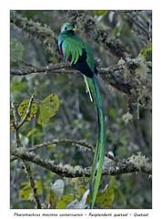Resplendent quetzal #6 (Jan H. Boer, Nature photographer) Tags: pharomachrusmocinnocostaricensis resplendentquetzal quetzal birds highlandbirds nature wildlife portrait costarica sangerardodedota nikon d500 afsnikkor200500f56e jansphotostream2019
