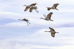 Crane Flyover (Gary Grossman) Tags: birds cranes winter wildlife flying northwest nature wild garygrossman garygrossmanphotography beautyinnature wildlifephotography pacificnorthwest lowlight sandhillcranes clouds solstice
