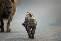 Youthful Bravado (leendert3) Tags: leonmolenaar southafrica krugernationalpark wildlife wilderness wildanimal nature naturereserve naturalhabitat mammal spottedhyena ngc npc sunrays5 coth5