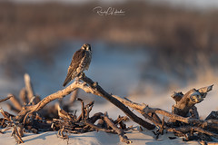 Peregrine Falcon - Falco peregrinus | 2019 - 18 (RGL Photography) Tags: animal animalkingdom avian beach beachfalcon birdofprey birding birds birdwatching conservation duckhawk dunes environment environmental falcoperegrinus falcon falconidae feathers habitat jerseyshore longbeachisland mothernature natural nature newjersey nikonafs600mmf4gedvr nikond5 oceancounty perch peregrine peregrinefalcon plumage raptor usa unitedstates wild wildlife wildlifephotography ©2019rglphotography
