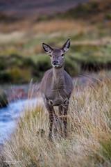 Hirschfotografie nahe Kingshouse Hotel (AnBind) Tags: schottland ereignisse fotoreise caledonia scotland 2019 highlands urlaub glencoe hirsch wildlife natur rothirsch rotwild deer reddeer hind