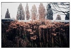 (schlomo jawotnik) Tags: 2019 november hannover herrenhäusergärten berggarten bäume gewächshaus gestrüpp gebüsch pflanzen äste film analog kodak kodakproimage100 usw