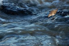 Rock 'n Rapids (hvhe1) Tags: nature animal bird wildlife wild actitishypoleucos commonsandpiper oeverloper flussuferlã¤ufer chevalierguignette river rapids longexposure water blue africa southafrica krugernationalpark sabieriver hvhe1 hennievanheerden flussuferläufer