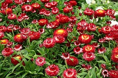 Red dahlias (jackfre 2) Tags: dahlias flowers belgium antwerp