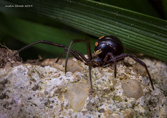 Hiding Black Widow (strjustin) Tags: blackwidow spider arachnid bug insect macro focusstacking mpe southernblackwidow