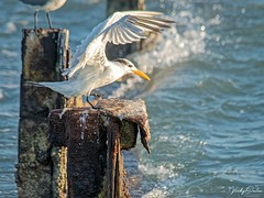 🇺🇸 Royal tern coming into land KW 1185 (vickyoutenphoto) Tags: vickyouten royaltern wildlife nature nikon nikond7200 nikkor55300mm keywest florida usa