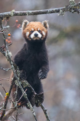 Time for one more Red Panda before Xmas (Tim Melling) Tags: ailurus fulgens styani red panda sichuan china timmelling