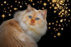 Festive Dragon (FocusPocus Photography) Tags: tofu dragon katze kater cat festlich festive weihnachten christmas
