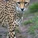 Cheetah walking and looking serious