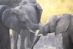 Trunk Twist (peterkelly) Tags: digital canon 6d africa intrepidtravel capetowntovicfalls botswana chobenationalpark tusk elephant savannaelephant trunk grassland choberiver savannahelephant
