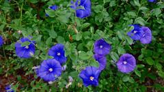 CAMPANULE (cannuccia) Tags: fiori flowers campanule blu giardini natura nature verde flowerarebeautiful thebestofmimamorsgroups