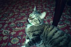 (Just A Stray Cat) Tags: 35mm film 35 mm analog analogue olympus mju ii mjuii kodak ultramax 400 cat cats kitty kittens gato stray feline misha