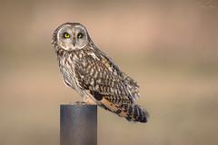 Short-eared Owl (Asio flammeus) (Ben Stacey.) Tags: winter bird nature wildlife owl birdofprey shortie seo benstacey nikonuk d800e predator 500mmf4gedvr
